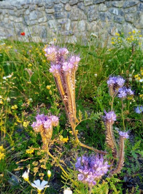 wild flowers, Connemara Ireland
