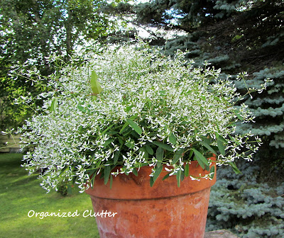Cottage Garden - Diamond Frost Euphorbia