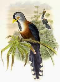 Malcoha frisado: Phaenicophaeus Lepidogrammus cumingi