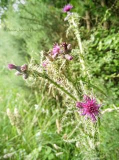 thistle plant
