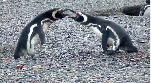 "Bloody battle between penguin and ""homewrecker"" goes viral"