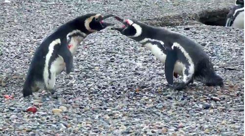 "Bloody battle between penguin and ""homewrecker"" goes viral"