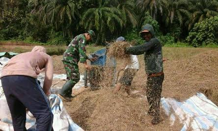 Serka Ricard Yanuar Panggabean melaksanakan pendampingan petani dalam kegiatan panen padi di lahan seluas 2 Ha yang dilaksanakan di lahan Tugimin jalan Gunung Karang LK 2 Kelurahan Tanah Merah Kecamatan Binjai Selatan, Jumat (07/04/2017).