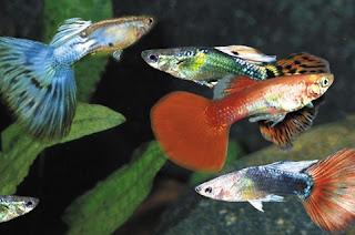 ciri-ciri ikan guppy sehat