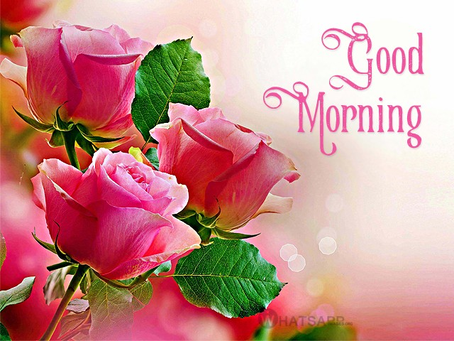 Good Morning Pink Rose Image Hd Wallpaper Stock