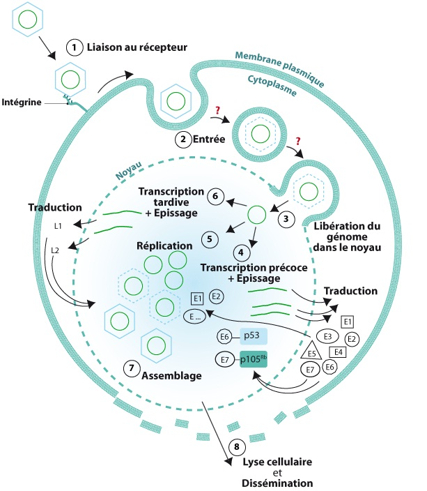Tpe Le Cycle Viral