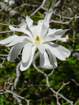 Magnolia stellata by garden muses-not another Toronto gardening blog