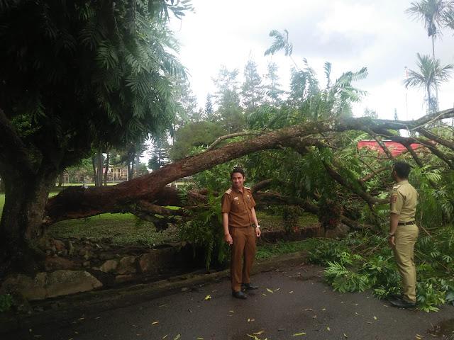 Pohon Peneduh di Komplek Kantor Bupati Lambar Tumbang