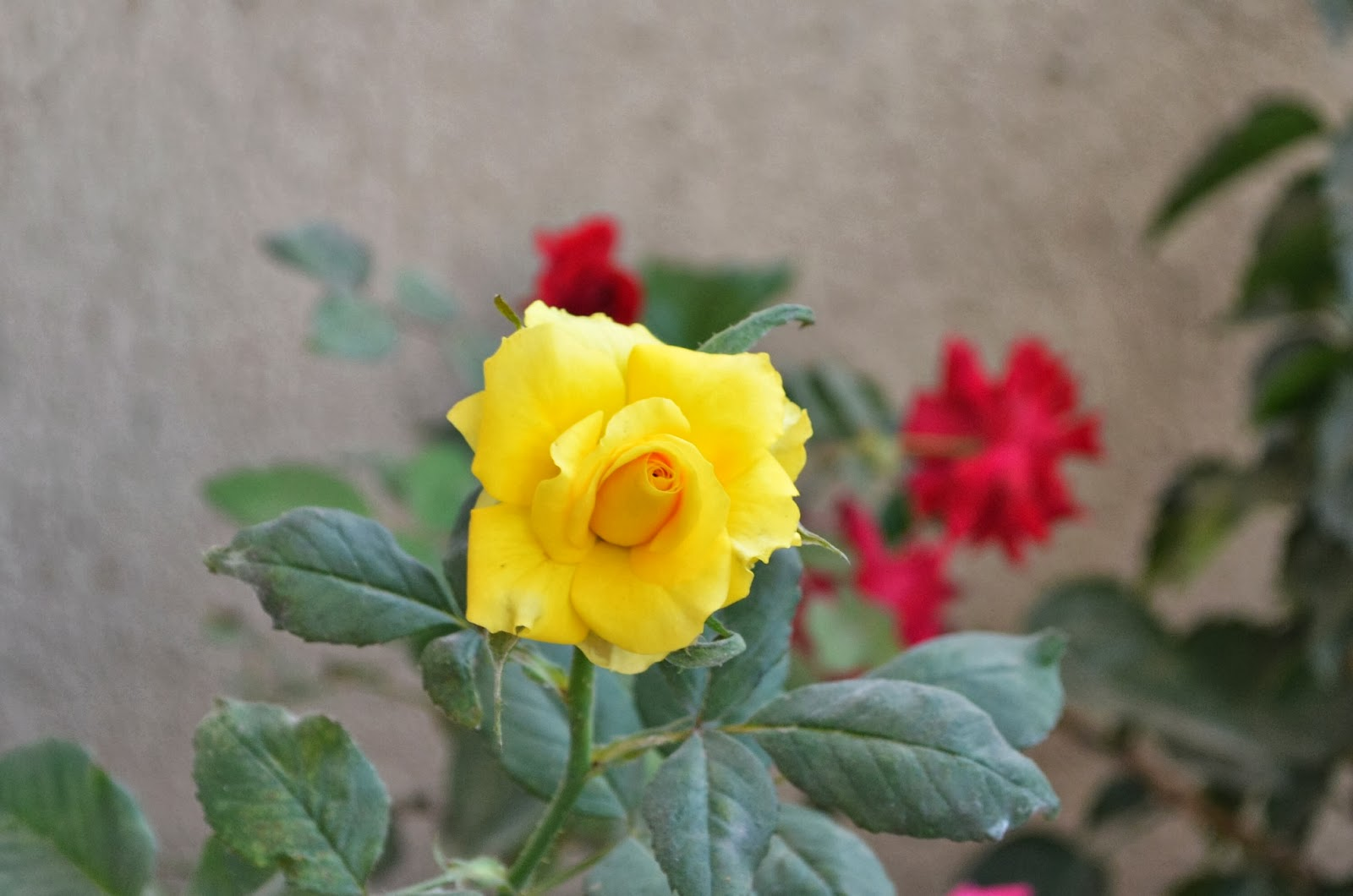 Yellow Rose | A single rose can be my garden