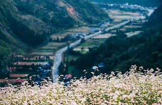 All you need to know before traveling to Ha Giang during buckwheat flower season 1