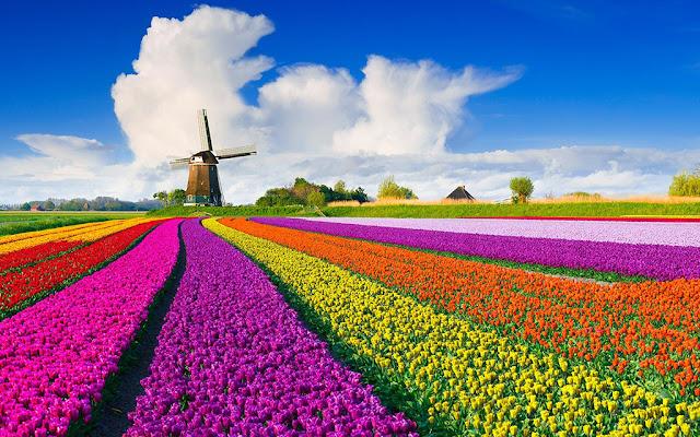Cánh đồng hoa tulip ở Hà Lan