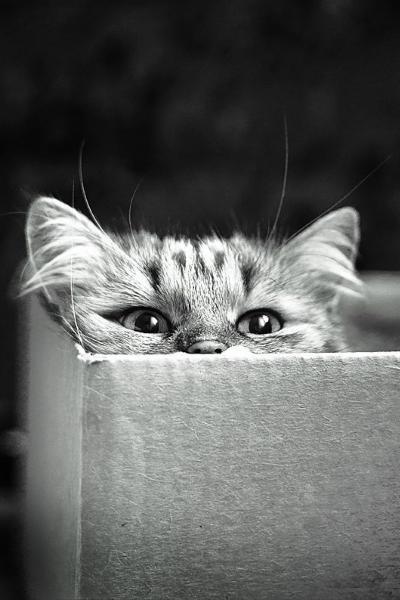Photographie de chat en noir et blanc