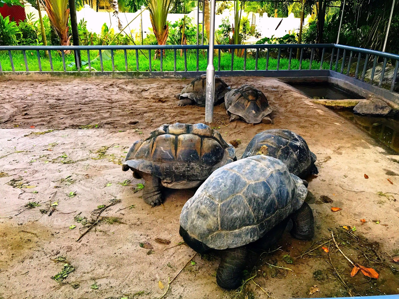 Lazy Turtles in a Small Turtle Farm in Beau Vallon, Mahé Island