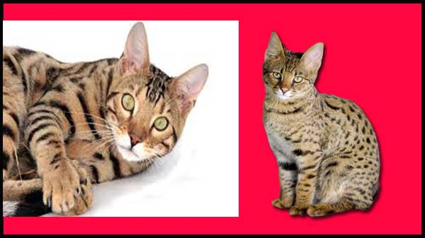 Types of Savannah Cats