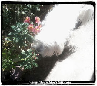 Snowy dog smelling flowers