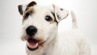 Everything about your Parson Russell Terrier