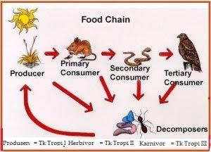 Contoh-Contoh Rantai Makan dan Jaring Makanan Lengkap Dengan Keterangannya