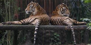 Orang Jakarta Harus Ikut Serta Lestarikan Harimau Sumatera