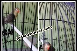 Harga lovebird parblue mouve dan ciri-cirinya