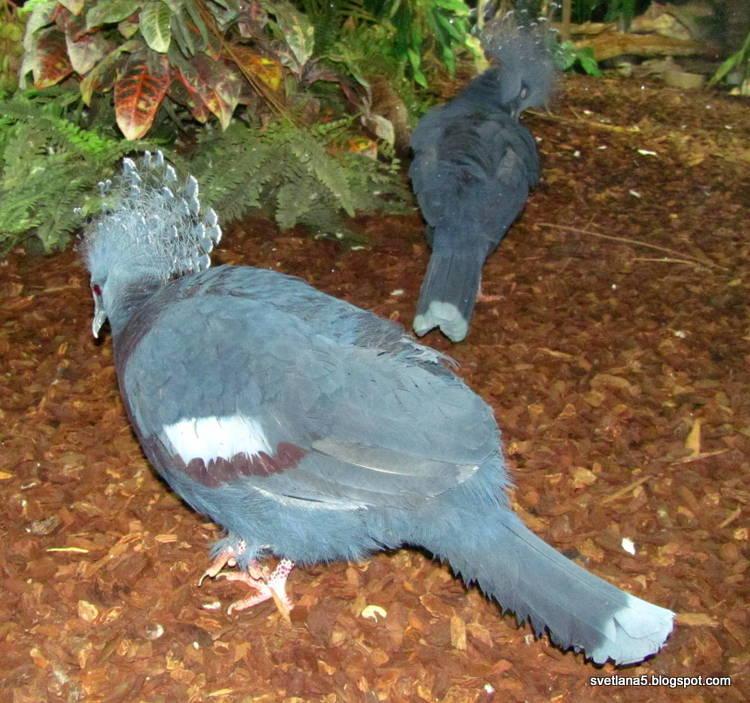 golobi