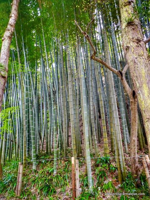 bosque bambú en japón
