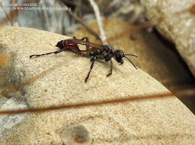 http://www.biodiversidadvirtual.org/insectarium/Prionyx-kirbii-(Vander-Linden-1827)-img925063.html