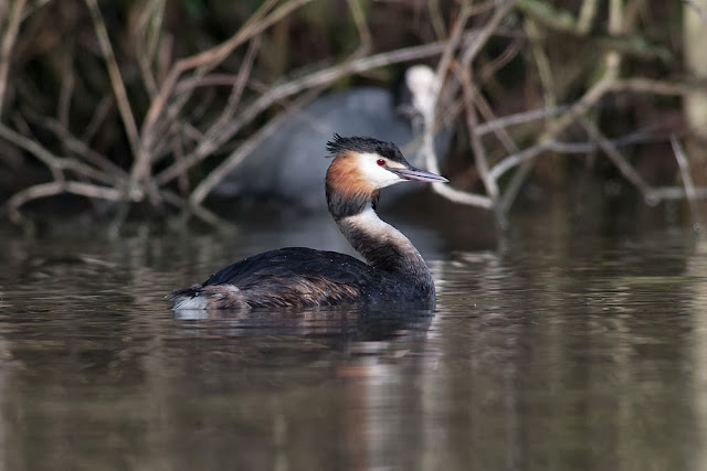 Great-crested Grebe - Lodge Lake, Milton Keynes