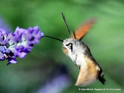 Insecte d'été sphynx colibri