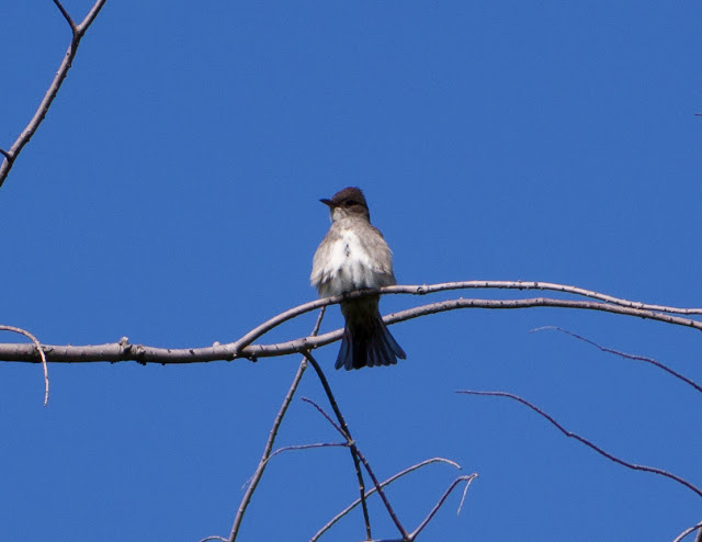 Olive-sided Flycatcher - Central Park, New York