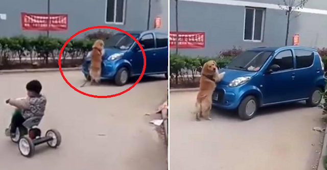 This Heroic Dog Protected A Kid From A Moving Car! Watch This!