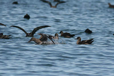 Shewaters, sooty shearwaters