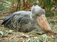 китоголов птица-башмак фото