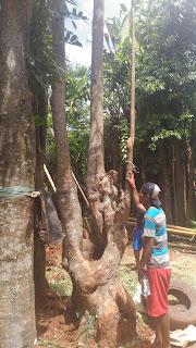 Jasa penanaman pohon pule