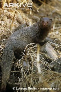 Mongoose fighting with a Cobra