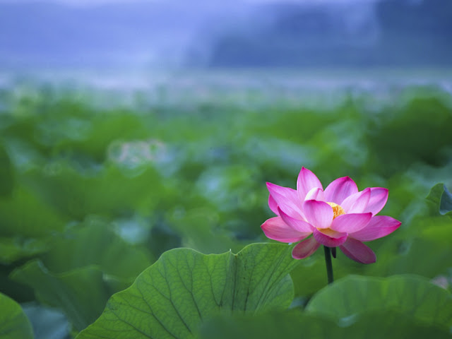 Pink Lotus Flower HD Wallpapers Backgrounds Download