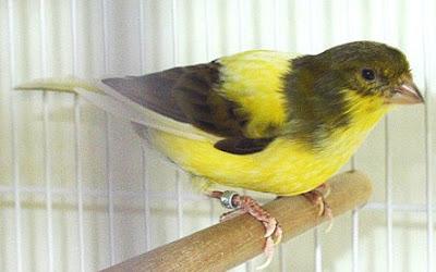Cara Akurat Mengatasi Burung Kenari Yang Terjangkit Penyakit Tetelo Dengan Menggunakan Obat Tradisional