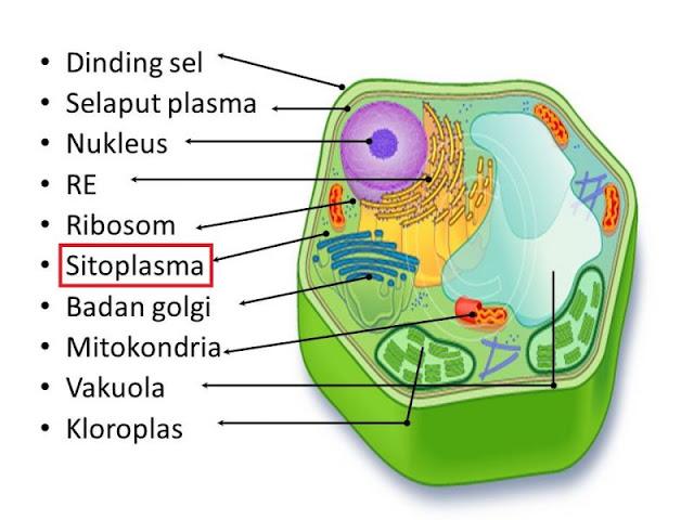 gambar sel tumbuhan dan fungsinya