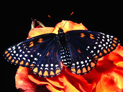 Beautiful Butterfly Normal Resolution Wallpaper 10