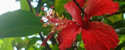 Hibiscus Flower - Red Hibiscus in rain