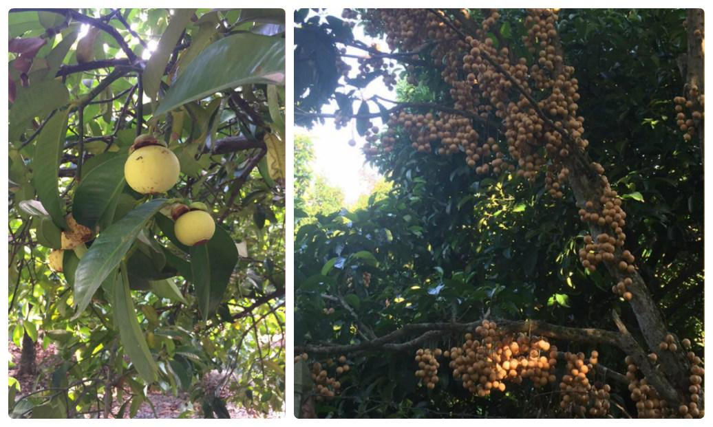 Top 10 Vườn trái cây Củ Chi – Trung An ăn bao no đáng để tham quan