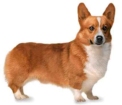 How to Breeds Pembroke Welsh Corgi Dog