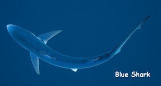 foto ikan hiu biru dari atas yang cantik