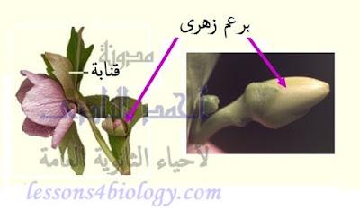 التكاثر فى النباتات الزهرية - البرعم الزهرى - القنابة