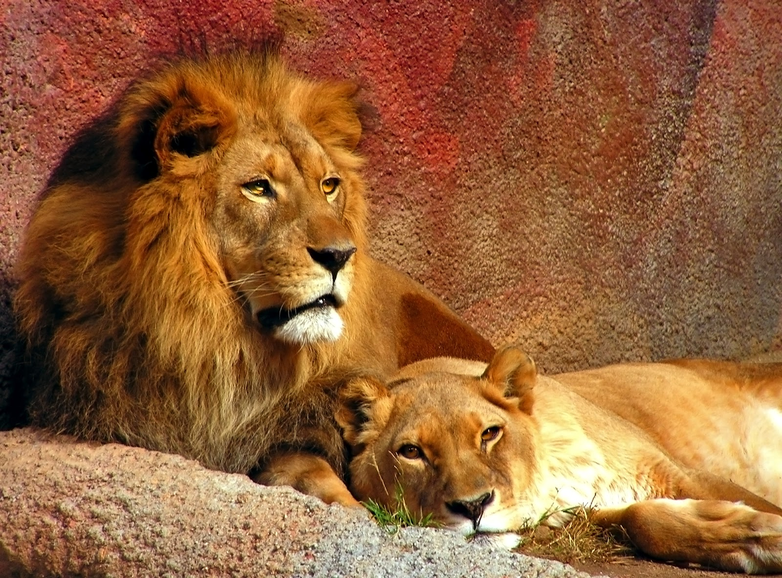 Beautiful Animals Safaris: Amazing Lions: Big Cats Africa ...