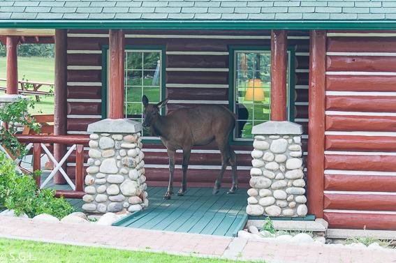 Wapiti hembra o ciervo canadiense en Jasper. Canada