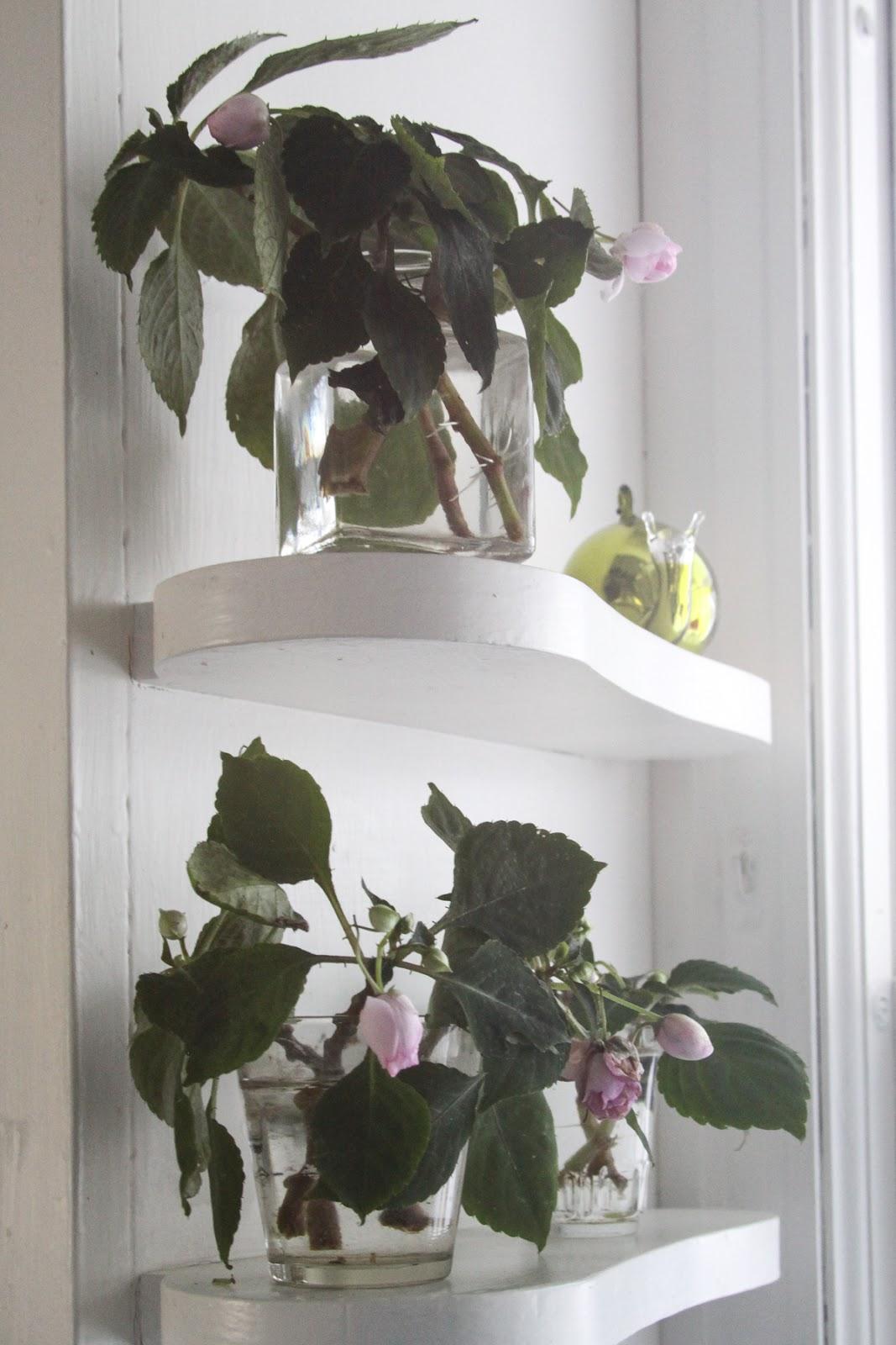 Rose And Geranium Propagation - Three Weeks Later : Behind Mytutorlist ...