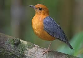 Burung Anis Merah, Jenis Burung Berkicau