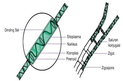 Morfologi Alga (Ganggang)