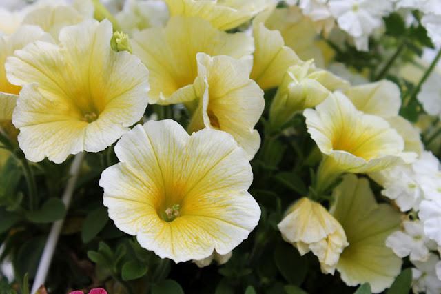 Weiß-gelbe Blüten in unserer Hängeampel