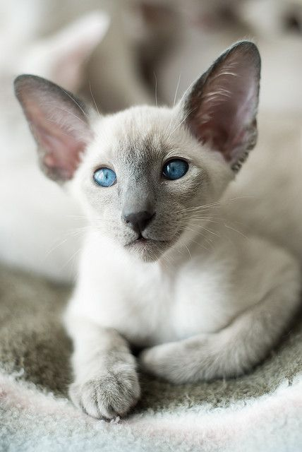 ♥typical wedge head Siamese. Very cute!